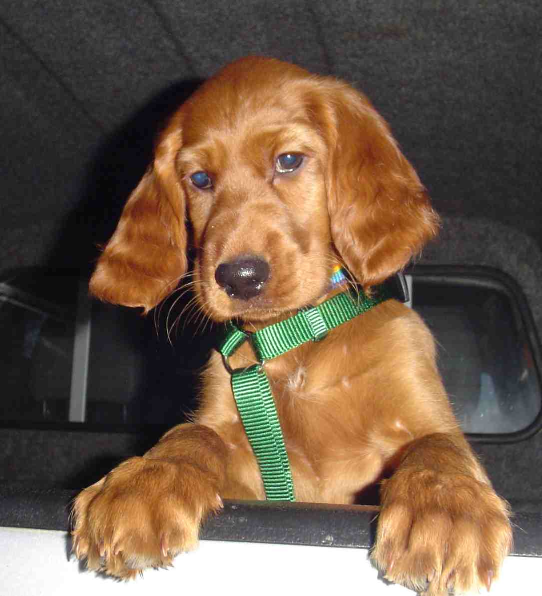 Picture of cute Irish Red Setter dog, sitting in a car
